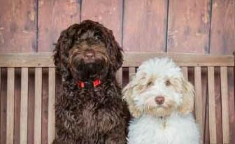 Lomond Hills Labradoodles - Australian Labradoodle Puppies